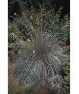 Sapphire Fountain Blue Oat Grass