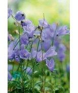 Bavaria Blue Dwarf Bellflower