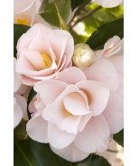 Magnoliaeflora Camellia