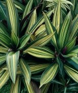 Variegated Moses-In-The-Cradle