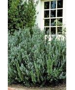 Blue Spires Rosemary