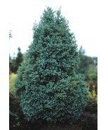 True Blue Sawara Cypress