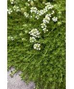 White Moss Thyme