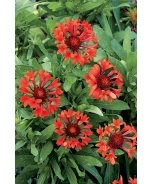 Commotion® Tizzy Blanket Flower