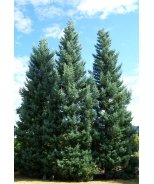 Blue Giant Sequoia