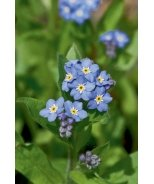 Victoria Blue Forget-Me-Not