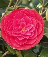 Tom Knudsen Camellia