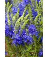 Crater Lake Blue Veronica