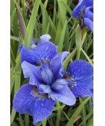 Bennerup Blue Siberian Iris