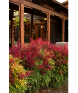 Sienna Sunrise® Heavenly Bamboo