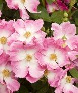 Nearly Wild Rose (Floribunda)