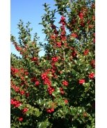 Red Beauty® Holly