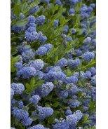 Victoria California Lilac