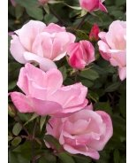 Blushing Knock Out® Shrub Rose