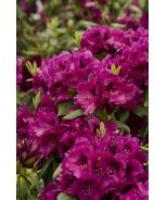Raise The Roof® Slam Dunk Rhododendron