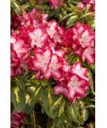 President Roosevelt Rhododendron