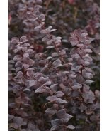Royal Cloak Japanese Barberry