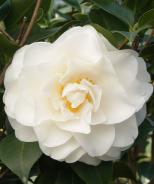 Swan Lake™ Camellia