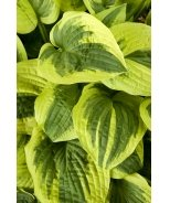 Wide Brim Plantain Lily