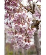 Double Weeping Rosebud Cherry