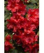 Scarlet Wonder Dwarf Rhododendron