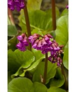 Winterglow Heart-Leaved Bergenia