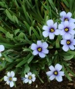 Devon Skies Blue-Eyed Grass