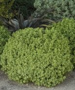 Golf Ball Pittosporum