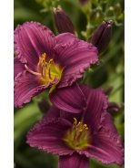 Little Grapette Dwarf Daylily