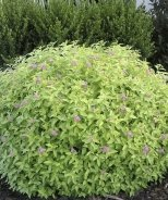 Golden Sunrise® Spirea