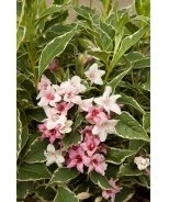 Magical® Fantasy Weigela