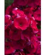 Volcano® Red Garden Phlox