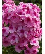 Volcano® Pink With Red Eye Garden Phlox