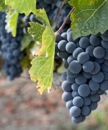 Zinfandel Grape
