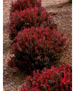 Pygmy Ruby™ Barberry