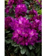 Raise The Roof® Huskymania Rhododendron