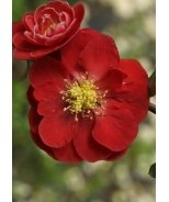 Double Take Scarlet™ Flowering Quince