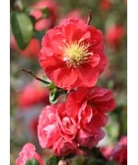 Double Take Pink™ Flowering Quince