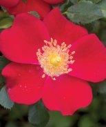 Oso Easy® Cherry Pie Rose