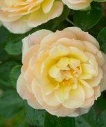 Oso Easy® Honey Bun Rose