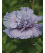 Blue Chiffon™ Rose of Sharon