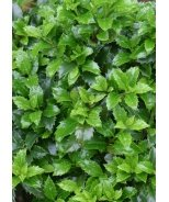 Castle Wall™ Blue Holly