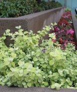Limelight Licorice Plant