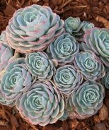 Blue Rose Echeveria