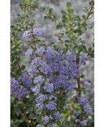 Blue Jeans California Lilac