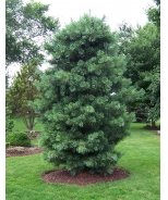 Silveray Korean Pine
