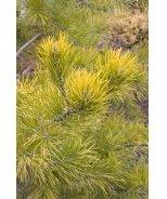 Wate's Golden Pine