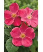 Home Run® Pink Rose