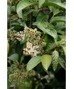 Honey Tree Viburnum