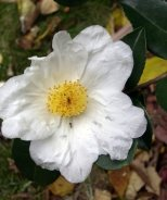 Northern Exposure Camellia